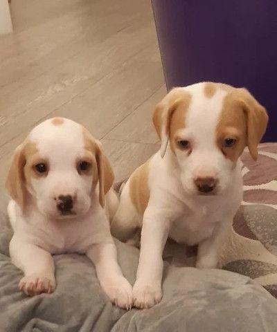 Beagle filhotinhos a pronta entrega com pedigree  - Foto 3