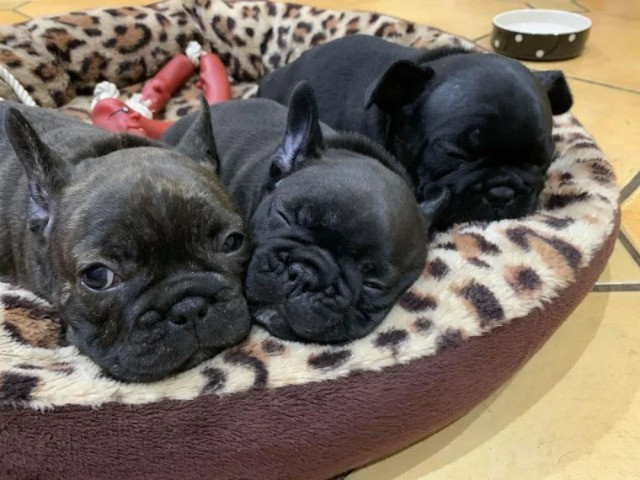 Bulldog Francês filhotinhos a pronta entrega com pedigree - Foto 4