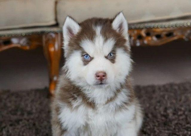Husky Siberiano filhotinhos a pronta entrega com pedigree - Foto 3