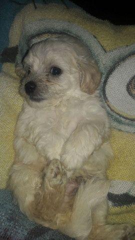 Poodle toy  - Foto 2