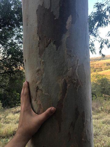 Eucalipto 10mil pés 8 anos de idade - Foto 3