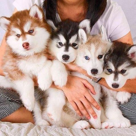 Husky Siberiano filhotinhos a pronta entrega com pedigree - Foto 4
