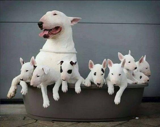 Bull Terrier - filhotes a pronta entrega
