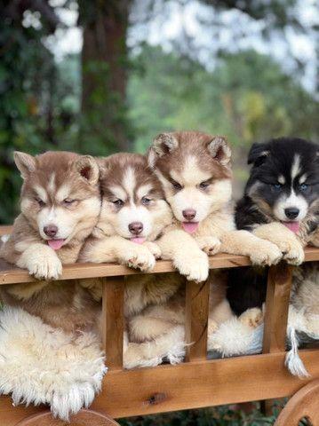 Filhotes de Husky Siberiano  - Foto 2