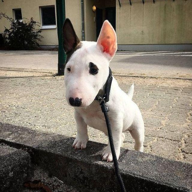Bull Terrier filhotinhos a pronta entrega com pedigree - Foto 4
