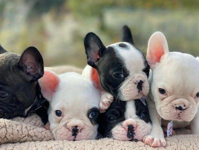 Filhotes de Bulldog Francês - Foto 2