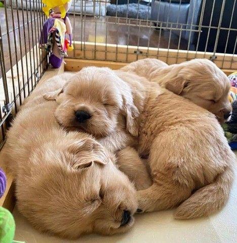 Belíssimos Filhotes de Golden Retriever - Foto 2