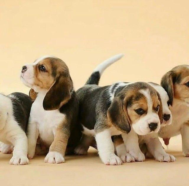 Incríveis filhotes de Beagle  - Foto 3