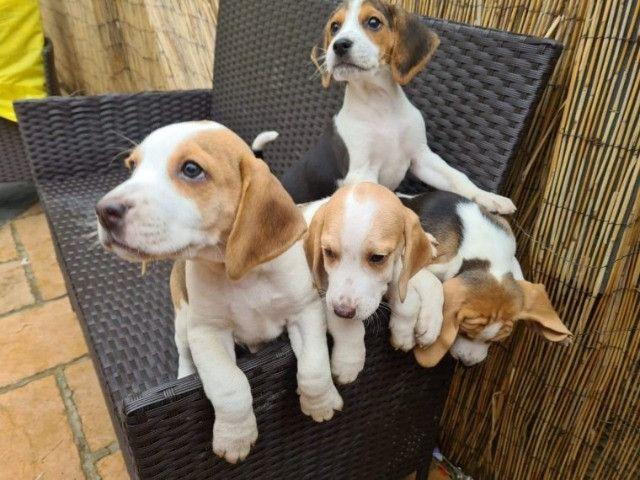 Beagle filhotinhos a pronta entrega com pedigree  - Foto 2