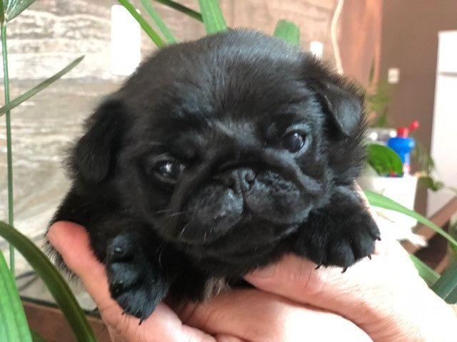 Filhote de Pug - Foto 4