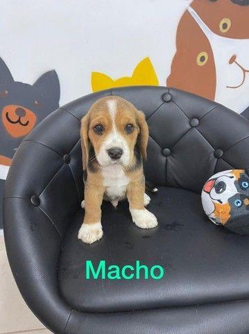 Beagle - lindos bebes a pronta entrega  - Foto 3