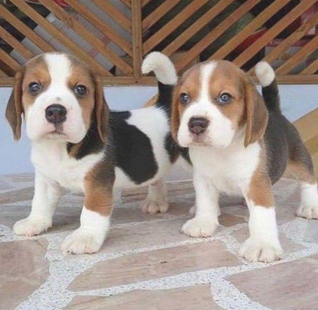 Filhotes de Beagle Lindissímos