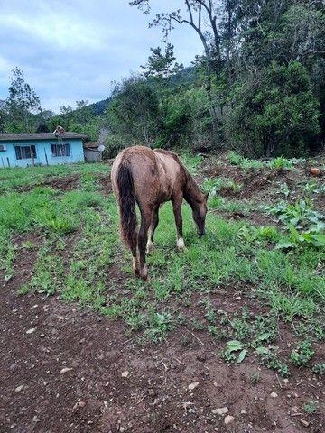 Potro crioulo (sem documentos) - Foto 5