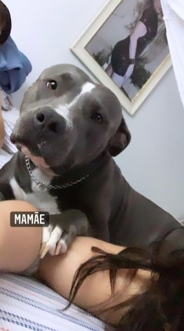 American Pitbull Terrier - Grátis uma saca de ração de 25kg - Foto 2