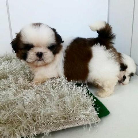 Shih Tzu Mini belíssimos filhotes 12 x sem juros
