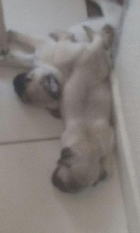 Pug Dog  - Foto 3