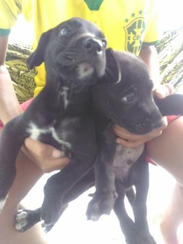 Vendo 3 filhotes de Dog Alemão com Labrador
