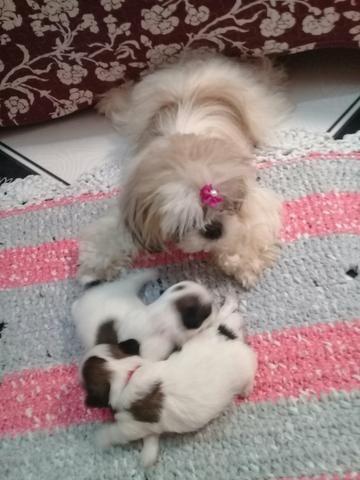 Duas filhotinhas shitzu vendo n:063984537818