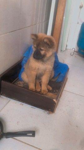 Cachorro fêmea da raça chow chow  - Foto 2