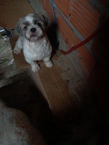 Cachorro macho para cruza. - Foto 2