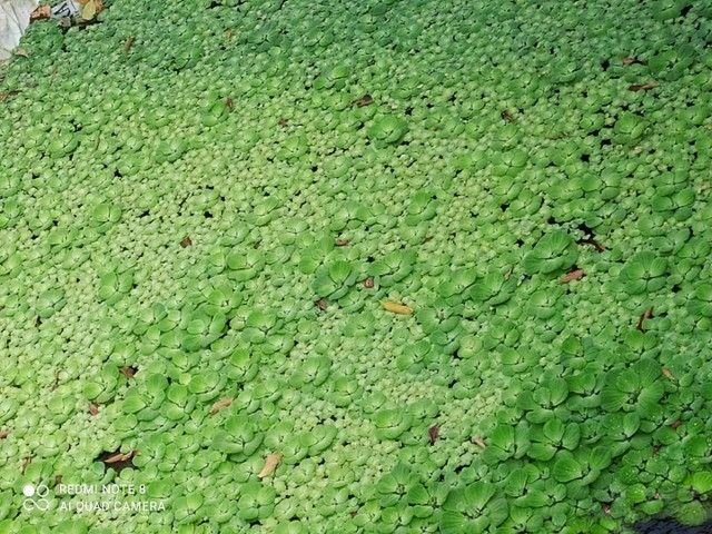 Plantas aquáticas - Foto 2