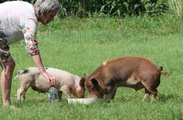 Mini Pig (Mini Porco) - Foto 4