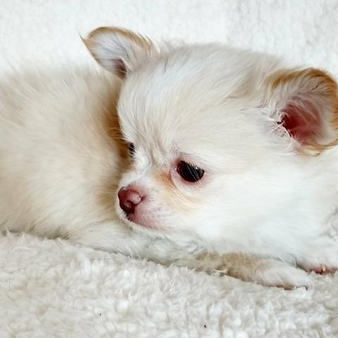 Chihuahua machinho pelo longo