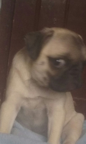 Pug Dog  - Foto 2