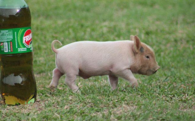 Mini Pig (Mini Porco) - Foto 3