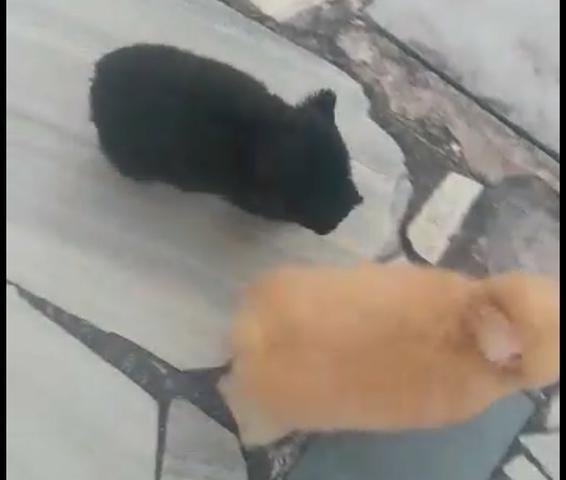 Vendo casal de poodle toy