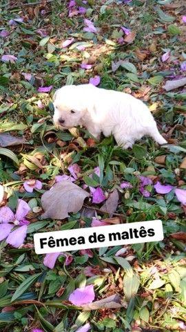Fêmeas maltês micro para reserva !!! - Foto 3