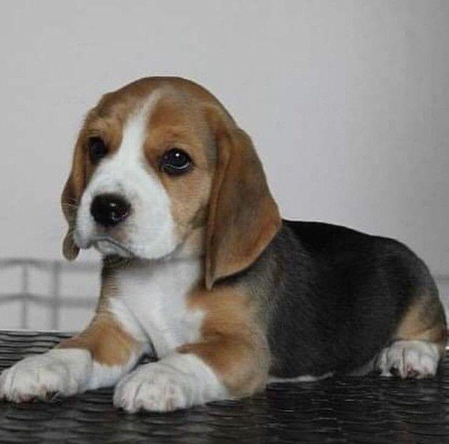 Belos filhotes de Beagle - Foto 2