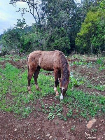 Potro crioulo (sem documentos) - Foto 2