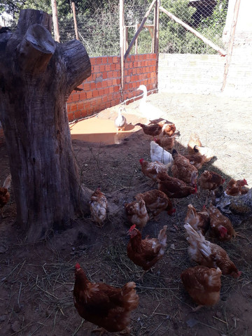 Vendo aves - Foto 4