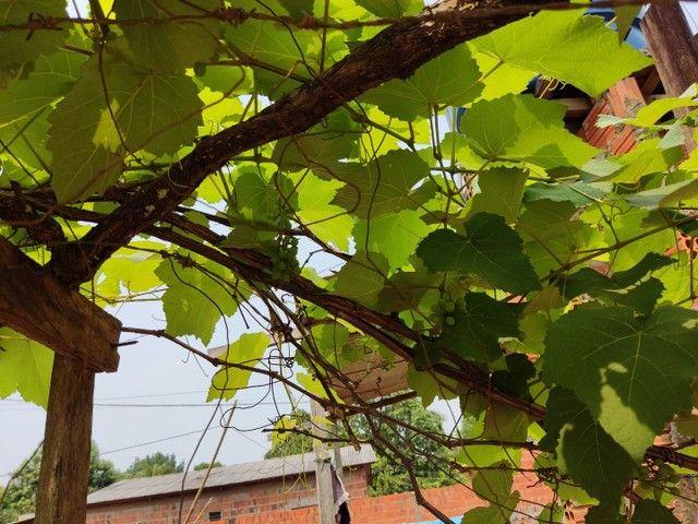 Uva Niágara rosada - Foto 4