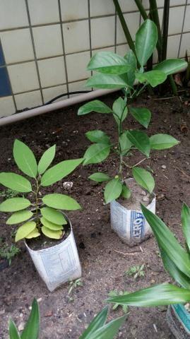 Vendo mudas de frutas todas estão otimas para o plantio. 10.00 cada