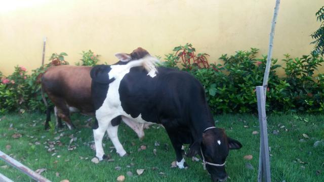 Vende-se um boi e uma vaca anã