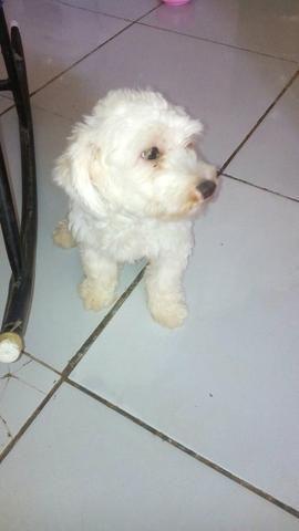 Cachorro poodle 1