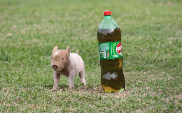 Mini Pig (Mini Porco)