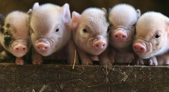Mini Pig (Mini Porco) - Foto 6