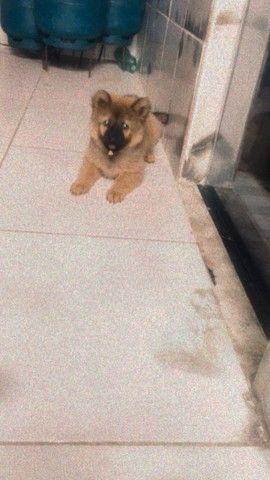 Cachorro fêmea da raça chow chow