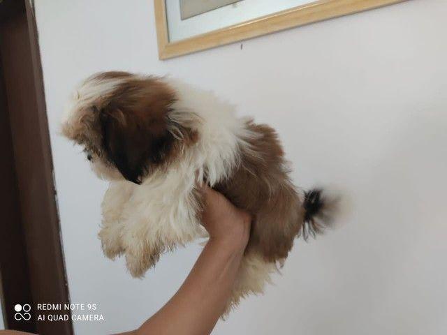 Vendo filhote de shitzu Mini fêmea - Foto 3
