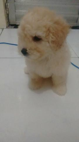 Poodle Toy linda 45 dias