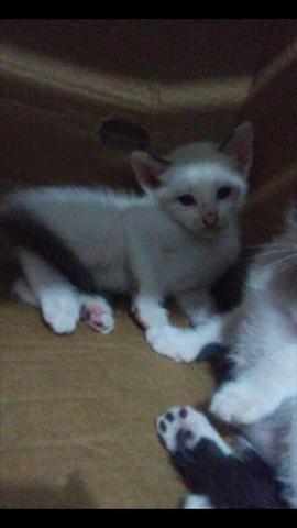 Doação gatinho branco