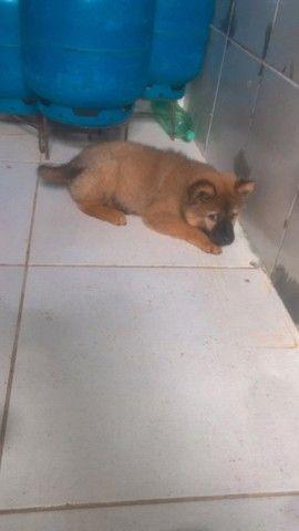Cachorro fêmea da raça chow chow  - Foto 3