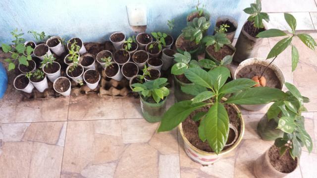 Plantas frutiferas - Foto 3