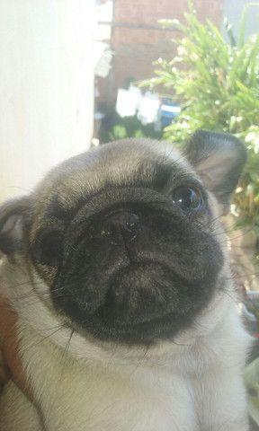 Pug Dog  - Foto 4