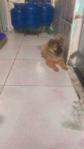 Cachorro fêmea da raça chow chow  - Foto 4