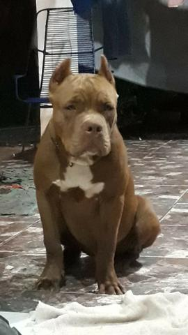 Filhote Macho com 6 meses de vida (Pitbull Monster)