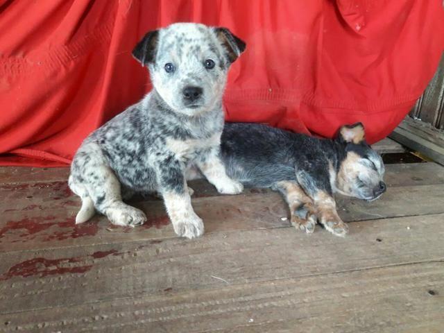 Cachorro Blue Heeler/Boiadeiro Americano